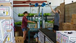 Laatste-bananen-inpakken-en-dan-Kerstvakantie-in-Australië