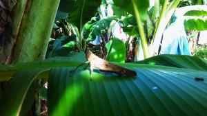 Grote-sprinkhaan-Australië
