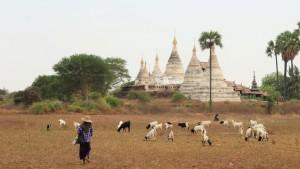 Bagan shepard