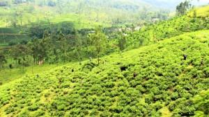 Theeplantages Sri Lanka