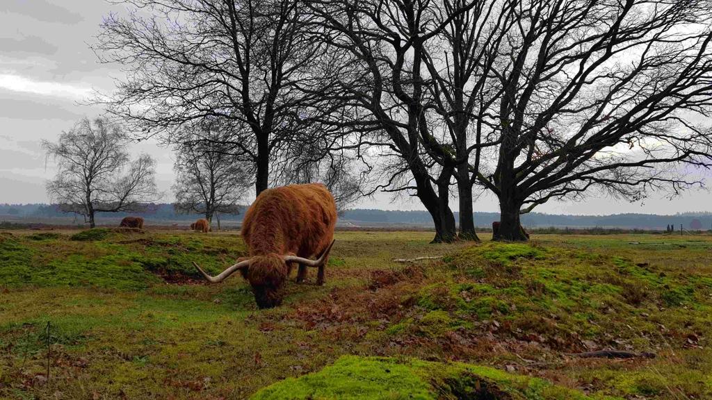 Trekvogelpad etappe 9 Westerheide Schotse Hooglander