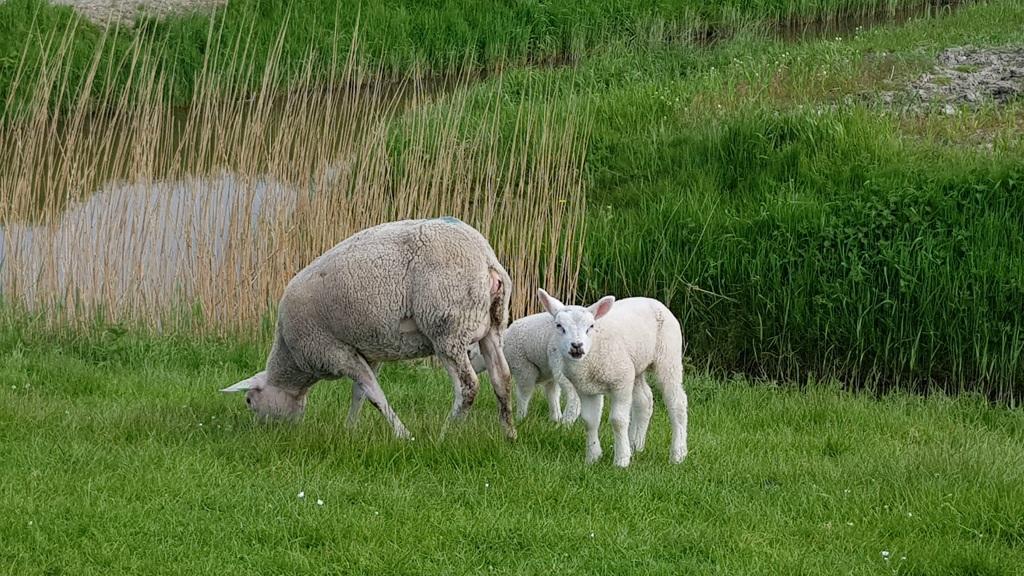 Rondje Nederland schaapjes Friesland