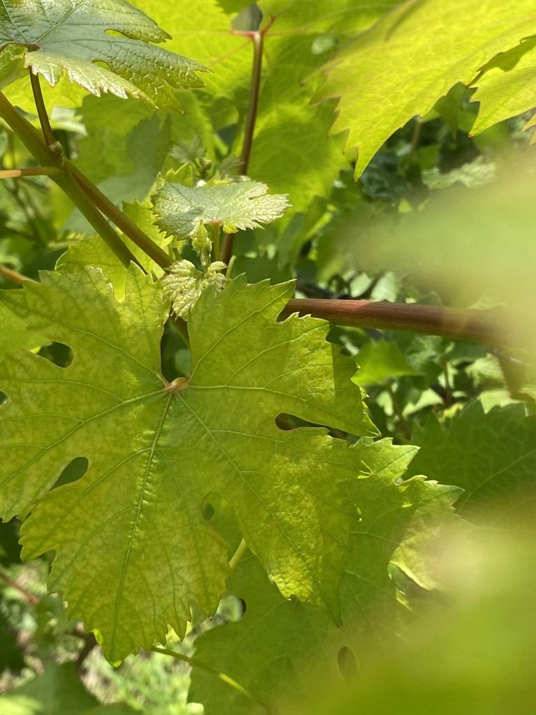 Wijngaard blad